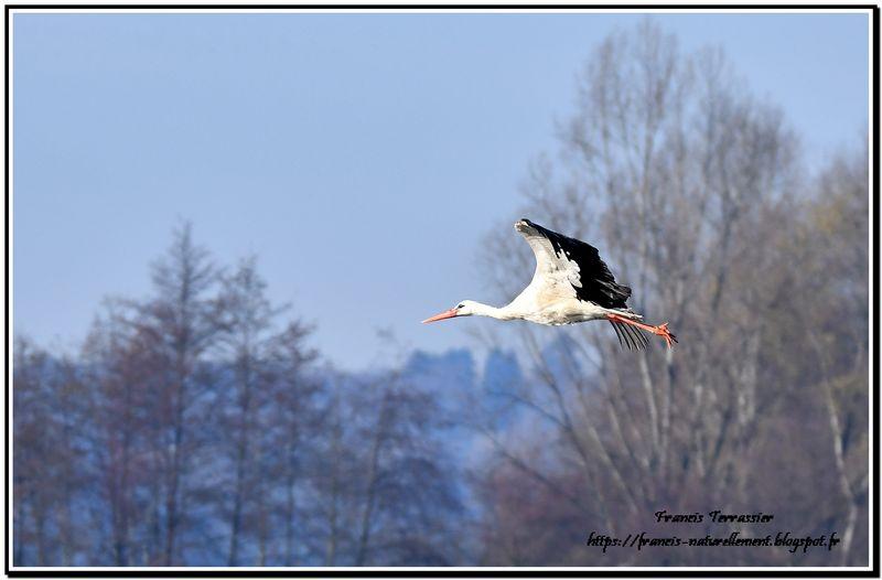 Cigogne blanche en vol DSC_4979_resultat