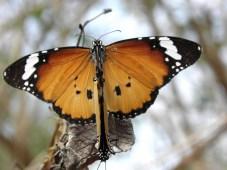 d7399-papillonspc030072